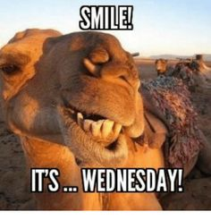 Smile Its Wednesday wednesday hump day humpday hump day camel wednesday quotes happy wednesday wednesday quote happy wednesday quotes Funny Hump Day Memes, Funny Wednesday Memes, Wednesday Hump Day, Hump Day Humor, Happy Wednesday Quotes, Good Morning Wednesday, Good Morning Funny, Funny Mom Quotes, Morning Humor