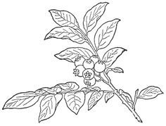 huckleberry drawing - Google Search
