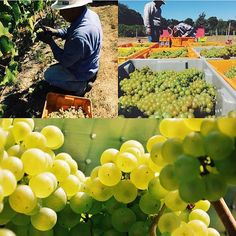 """Summer may be nearing its end, but harvest is just getting started at Bedell Cellars!   """"Harvest 2015 has begun! North Fork Albariño and Chardonnay for our proprietary methôde champenoise Blanc de Blancs going in the press today."""""""