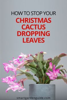 If your Christmas Cactus is dropping leaves, don't despair. This step by step guide will help you find out what has gone wrong with your Christmas Cactus and get it back to perfect health. Indoor Flowering Plants, Blooming Plants, Cactus Leaves, Smart Garden, House Plant Care, Succulent Care, Christmas Cactus, Garden Guide, Step Guide