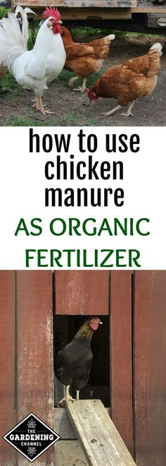 Learn how to use chicken manure as organic fertilizer with these gardening tips. Find out how to collect chicken manure and its benefits in the garden.