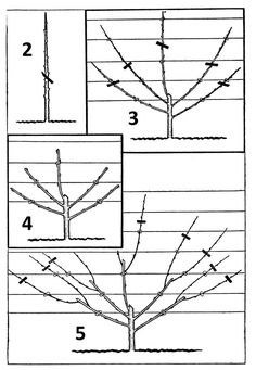 How To Train a Fruit Tree - Product range - Chepstow Garden Centre