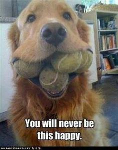That is one dedicated golden retriever! That is one dedicated golden retriever! That is one dedicated golden retriever! Cute Puppies, Cute Dogs, Dogs And Puppies, Doggies, Animals And Pets, Funny Animals, Cute Animals, Baby Animals, Golden Retrievers