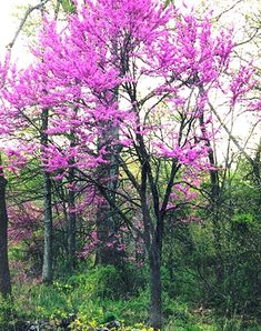 EASTERN RED BUD Cercis Canadensis by VikkiVines on Etsy