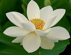 White Sacred Lotus Water Lily Aquatic - Nelumbo Nucifera - 5 Seeds | Seeds for Africa