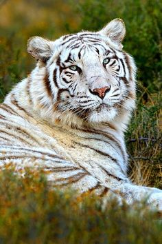 Rare White Bengal Tiger | Marsel van Oosten on 500px (photo dimensions were…