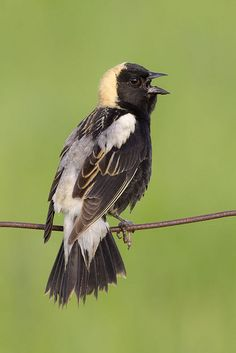 A male Bobolink (Dolichonyx oryzivorus) sings from a fence wire in Ontario, Canada.      (Photo by Jeff Dyck)      listen to the song