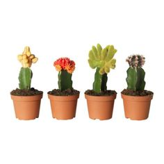 GYMNOCALYCIUM Potted plant, grafted cactus, assorted $8.99