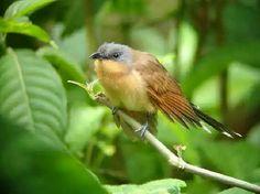 grey-capped cuckoo