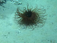 17.04.16 - Scottish cold-water coral reef habitats: species living on the Logachev Reef at Rockall Bank, Identified by marine biologist Laurence De Clippele: Zoanthid growing on Lophelia Pertusa, Crinoid (Poliometra sp), Leiopathes (black coral) and...