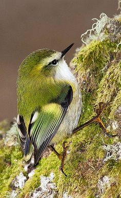 Rifleman (Acanthisitta chloris) (Māori: Tītipounamu) is a small insectivorous passerine bird that is endemic to New Zealand. It belongs to the Acanthisittidae family, also known as the New Zealand wrens, of which it is one of only two surviving species. Pretty Birds, Love Birds, Beautiful Birds, Animals Beautiful, Cute Animals, Birds Pics, Bird Pictures, Wild Animals, Baby Animals