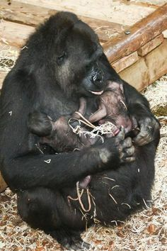 """Rare Gorilla Twins Surprise Staff at Burgers' Zoo """"I really did not know what I saw. Gorilla twins are seen only once or twice every 10 years in European zoos. Cute Baby Animals, Animals And Pets, Funny Animals, Beautiful Creatures, Animals Beautiful, Llamas Animal, Los Primates, Baby Gorillas, Mundo Animal"""
