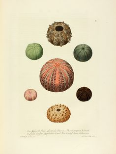 "lindahall: ""Coral, seashells, and sea urchins from Deliciae naturae selectae, Georg W. Knorr, 1766, a natural history book containing hand-colored copperplate engravings. """