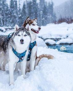 Undeniable Reasons to Own a Siberian Husky Ideas. Irrefutable Reasons to Own a Siberian Husky Ideas. Husky Breeds, Dog Breeds, I Love Dogs, Cute Dogs, Animals And Pets, Cute Animals, Teach Dog Tricks, Alaskan Husky, Snow Dogs