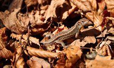 Lizard Animals, Animales, Animaux, Animal, Animais