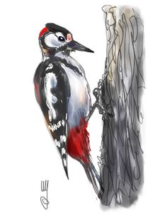 Bird drawings and bird paintings by artist and illustrator Artmagenta. More than 500 species of birds are described and illustrated Tatoo Pic, Spotted Woodpecker, Doodle Sketch, Bird Drawings, Bird Species, Doodles, Watercolour Painting, Drawing Reference, Painted Rocks
