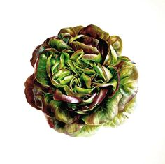 Salanova Red Butterhead Lettuce, watercolour by Coral Guest Watercolor Fruit, Fruit Painting, Watercolor Flowers, Botanical Flowers, Botanical Illustration, Botanical Prints, Natural Structures, Natural Forms, Food Illustrations