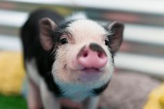 """Small pig, big problem When your cute mini """"teacup"""" pig grows bigger than promised, they often wind up euthanized or in struggli. Mercy For Animals, Save Animals, Zoo Animals, Baby Piglets, Pot Belly Pigs, Small Pigs, Mini Pigs, Garden Animals, Cute Piggies"""