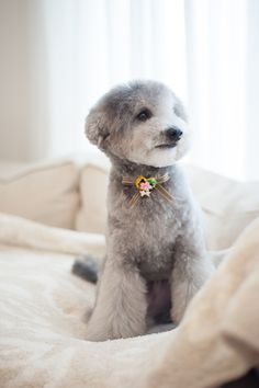 #toypoodle #silverpoodle #haircut #LC3 #kashwere