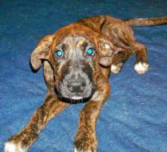 Rachel is an adoptable Mountain Cur Dog in Charlotte, NC. Rachel is a sweet, beautiful Mountain Cur baby. This is what Wikipedia has to say about this rare breed:'The Mountain Cur is intelligent, easi...