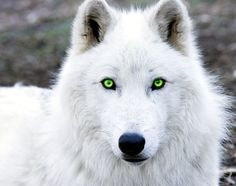 Clara Sorenson transforms into a white wolf with green eyes