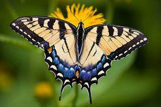 Beautiful swallowtail butterfly! <3