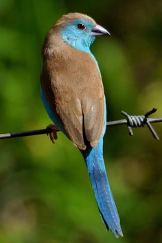 Blue-breasted CORDON-BLEU (Uraeginthus angolensis)