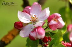 Sascha D. Rose, Flowers, Plants, Photography, Apple Tree, Watercolor, Pink, Roses, Flora