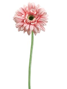 """Gerbera Daisy in Pink.  24"""" tall beautiful Garden Fresh gerbera daisy in pink.  Beautiful flower head is 4.5"""" in diameter and has 4 rows of petals with a green center.  Stem is light green in color and waterproof.  This flower can be dropped into fresh water for easy """"fresh look"""" arranging."""