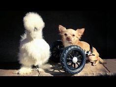 Disabled Dog Who Uses a Wheelchair Has the Most Unusual Best Friend … a Silkie Chicken! (VIDEO) | One Green Planet