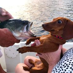 Scientists Have Proved That Losing A Dachshund Is More Painful Than Losing A Lover Weenie Dogs, Dachshund Puppies, Dachshund Love, Cute Puppies, Cute Dogs, Dapple Dachshund, Daschund, Chihuahua Dogs, Doggies
