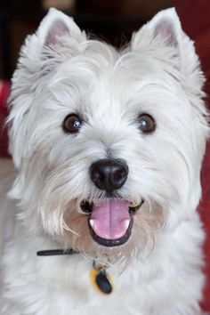 Bode! My west highland terrier