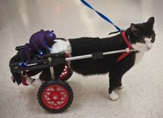 Pet expert Steve Dale shares the story of Scooter the paralyzed cat and how he has changed lives.