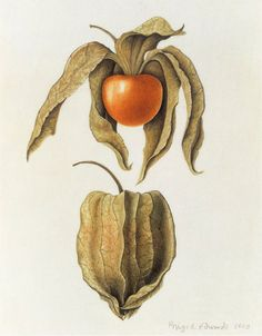 Brigid Edwards. Physalis peruviana (Cape Gooseberry) 1993, watercolour on vellum