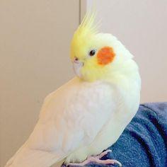 #cockatiel #petbirds #bird