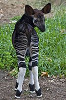Baby okapi . . . aaawwwwww! How can you not love this?!