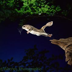 Photograph of Southern Flying Squirrel (Glaucomys volans) leaping into mid air. Rights managed image. Flying Squirrel, Baby Squirrel, Chipmunks, Fantasy Creatures, Cute Baby Animals, Animals Beautiful, Beautiful Things, Animal Kingdom, Pet Birds