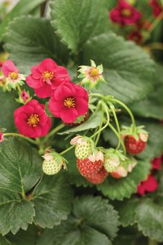 Proven Winners - Berried Treasure® Red - Strawberry - Fragaria ananassa red plant details, information and resources. Strawberry Plants, Planting Flowers, Spring Garden, Everbearing Strawberries, Red Flowers, Fragaria × Ananassa, Red Plants, Strawberry Flower, Berries