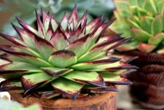 Echeveria Agavoides echeveria agavoides 'ebony' « a growing obsession