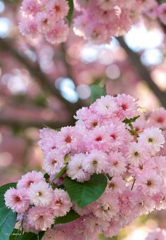 Lovely Little Pink Blossom Flowers