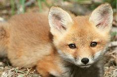 I want a baby fox so bad :(((