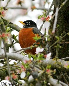 A sure sign of spring: Robin in a flowering tree. Except when they show up in Michigan in February. What are they thinking??