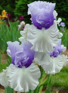 Iris – Frilly Iris – It takes its name from the Greek word for a rainbow, referring to the wide variety of flower colors found among the many species