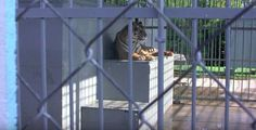 Tiger Has Spent 15 Years Trapped In Cage At Truck Stop