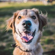 "Jennay the 1.5yr old Golden/Collie mix!  Guys I'll be at Zilker tonight from until sunset. Stop by say ""hi"". by zilkerbark"
