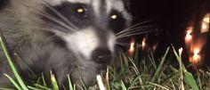 Crime animal: guaxinim rouba celular de rapaz que o filmava - Mega Curioso