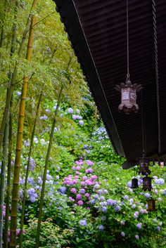 Hydrangea blooms in the Hase-dera, Kamakura, Japan 長谷寺 鎌倉