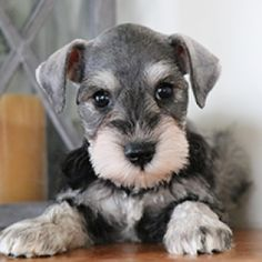 Ranked as one of the most popular dog breeds in the world, the Miniature Schnauzer is a cute little square faced furry coat. Schnauzer Grooming, Miniature Schnauzer Puppies, Schnauzer Puppy, Cute Dogs Breeds, Dog Breeds, Puppies For Sale, Cute Puppies, White Miniature Schnauzer, Susanoo Naruto
