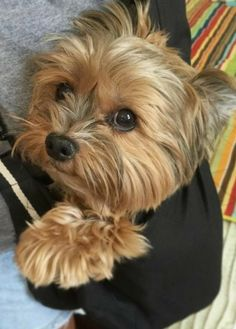 Really Cute Puppies, Cute Little Puppies, Little Dogs, Cute Dogs, Yorkies, Yorkie Puppy, Yorky Terrier, Yorshire Terrier, Baby Dogs