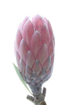 protea (mary jo hoffman)